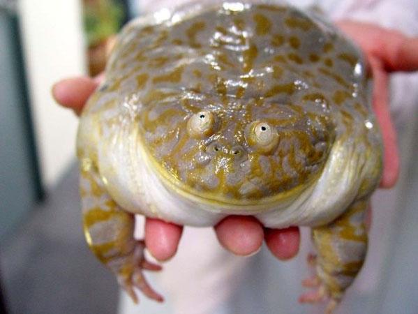 Жаба-душитель - Смешные картинки - Tynu40k Goblina