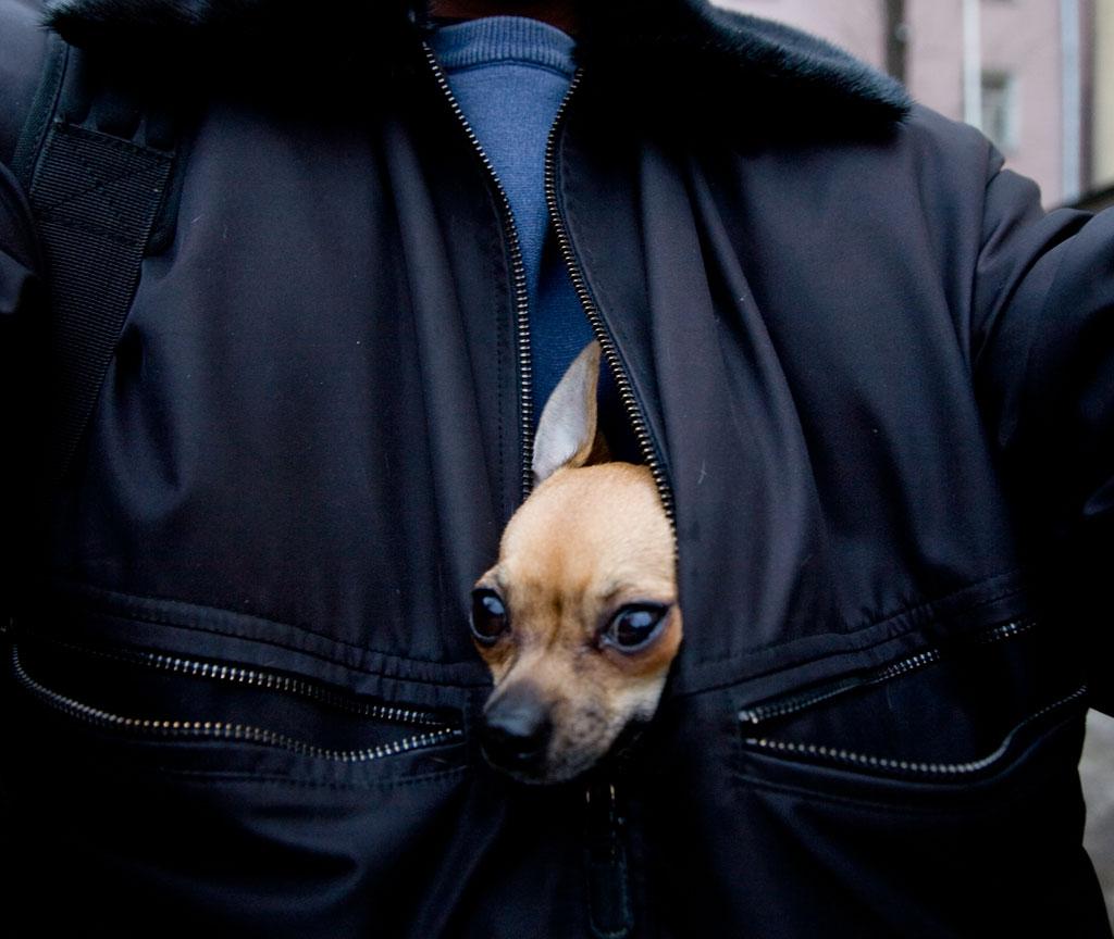 Собака-убийца едет на работу