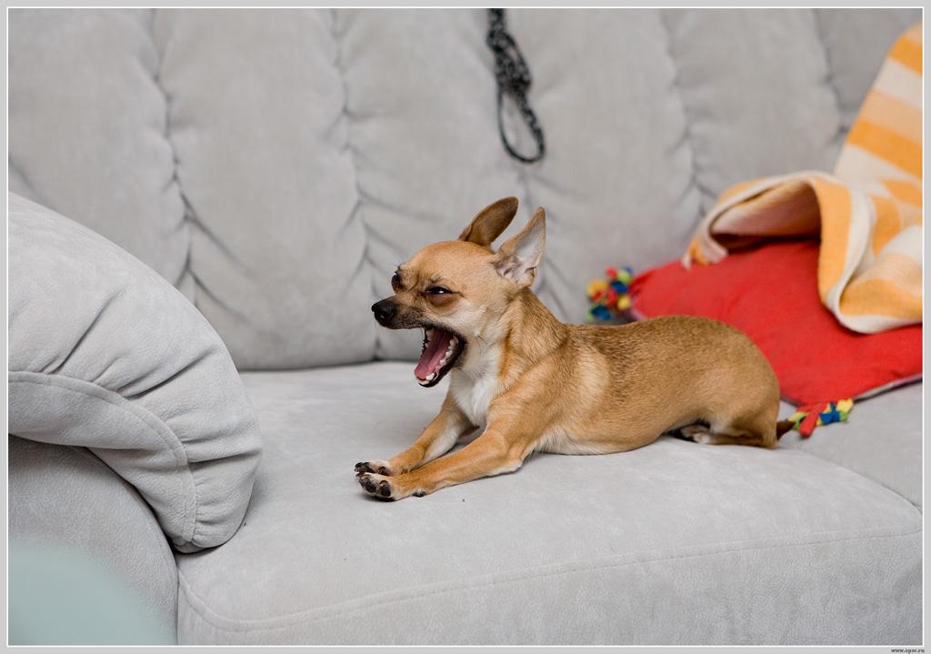 Зверский зевок собаки-убийцы