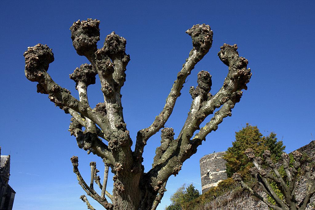 Анжуйское дерево