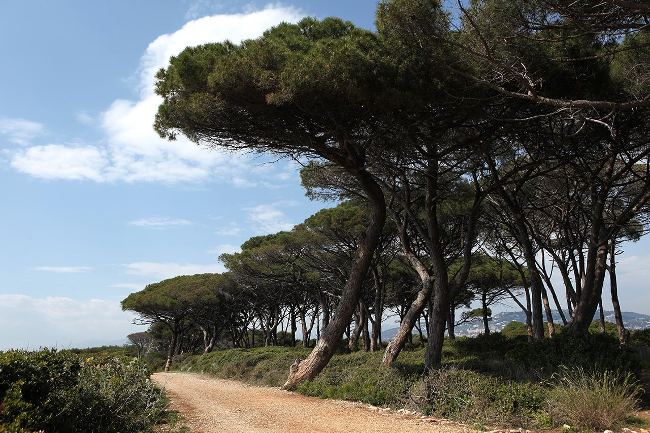 Средиземноморские сосенки