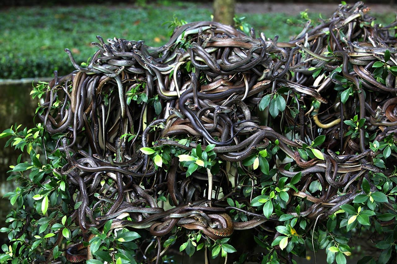Вьетнамские змеи забрались на куст