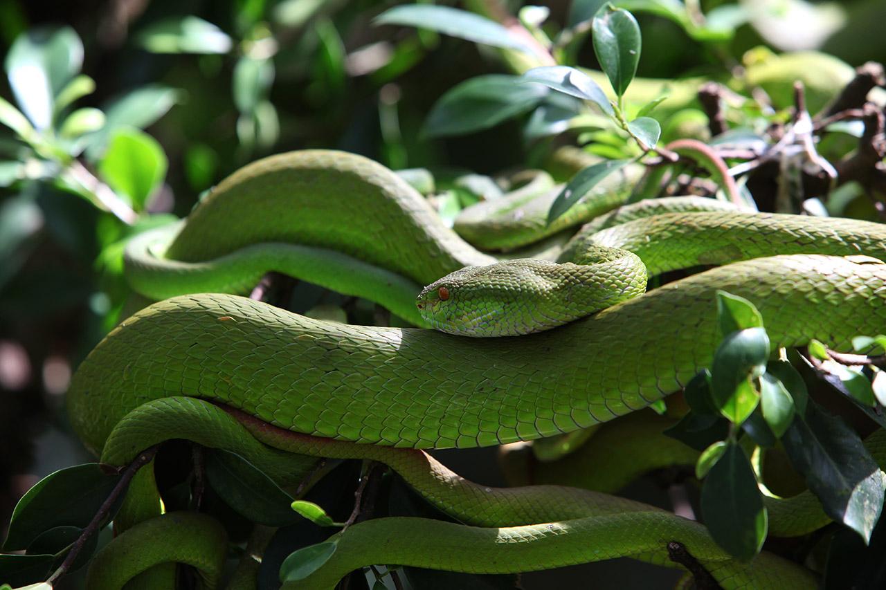 Вьетнамский зелёный змей