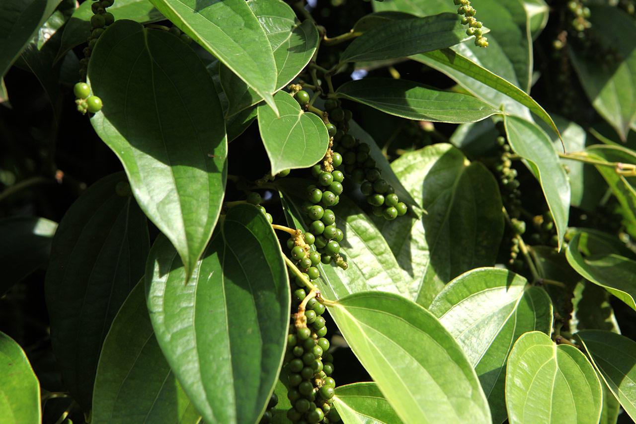 Зелёный чёрный перец