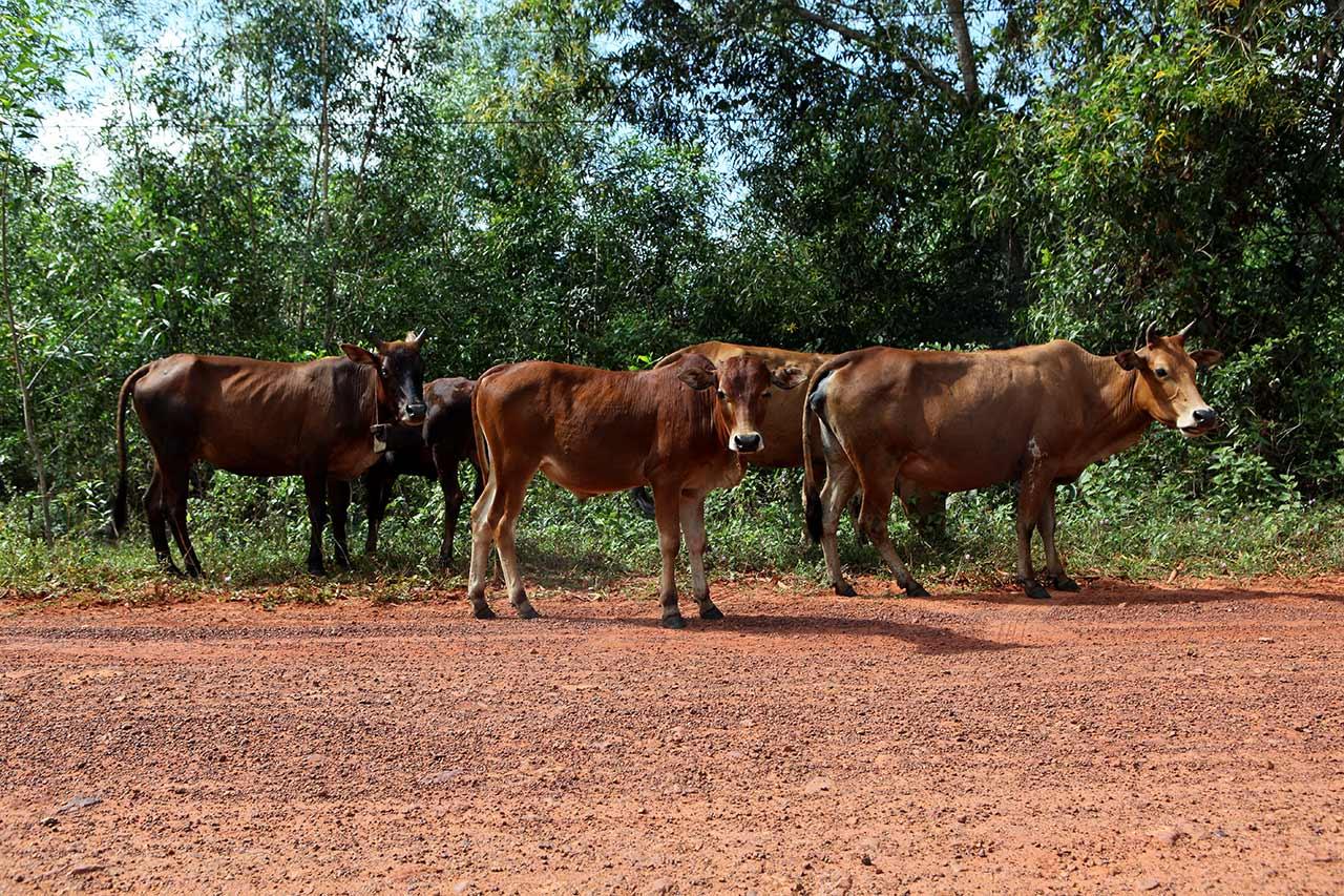 Вьетнамские коровы