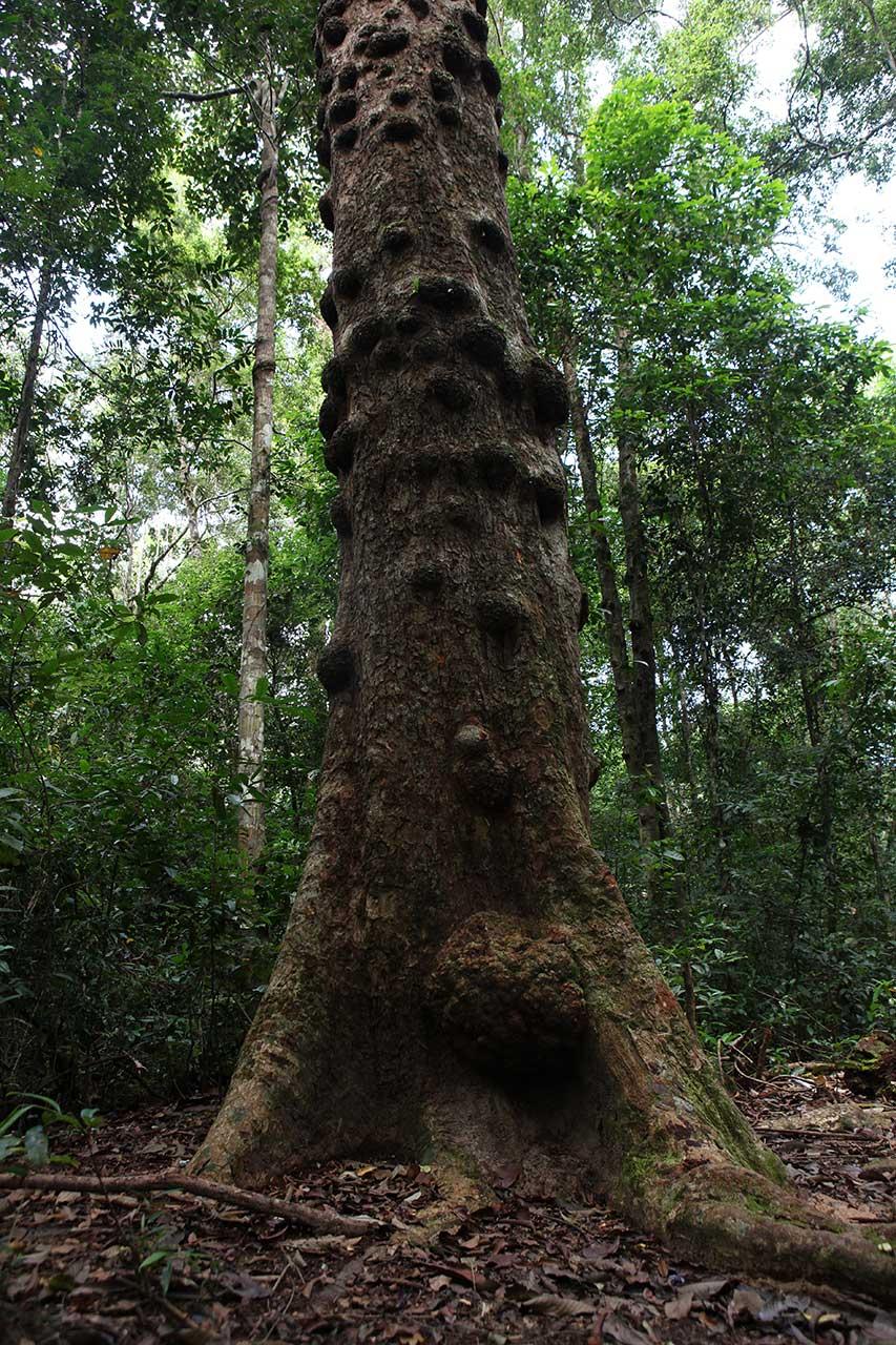 Пупырышчатое дерево