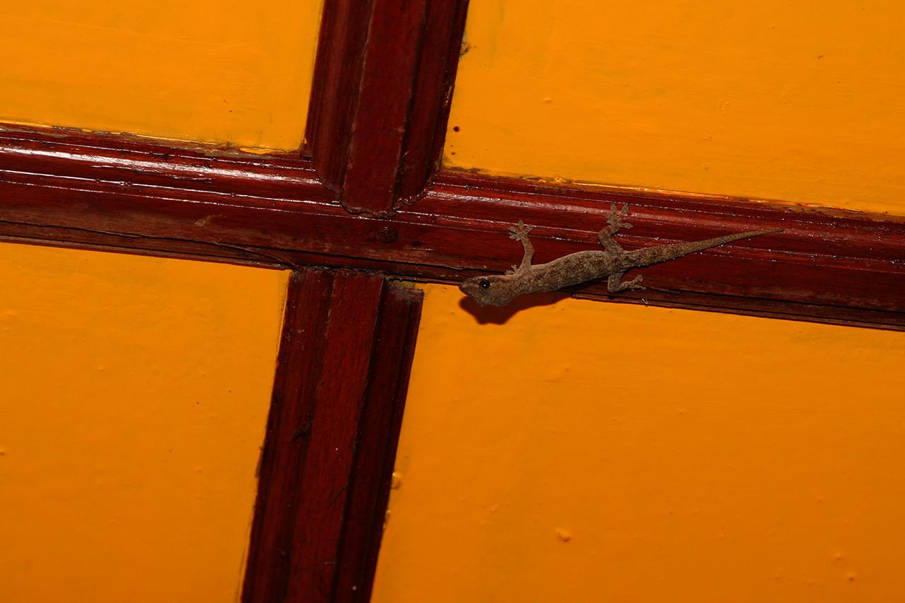 Мальдивский геккон