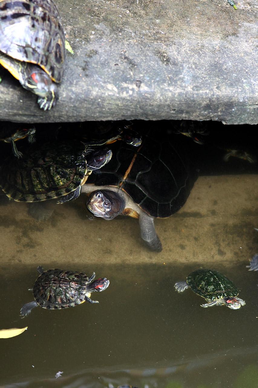 Авторитетная черепаха