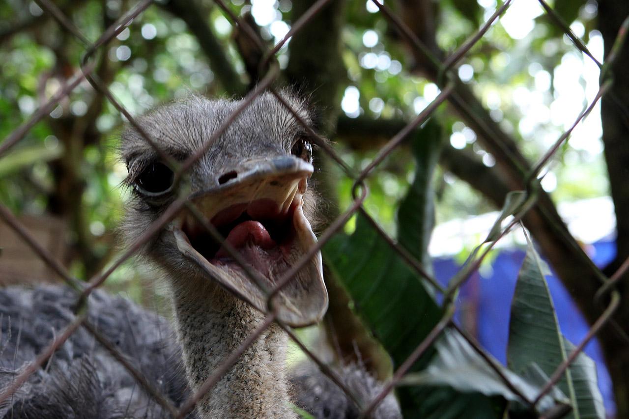 Жадный страус