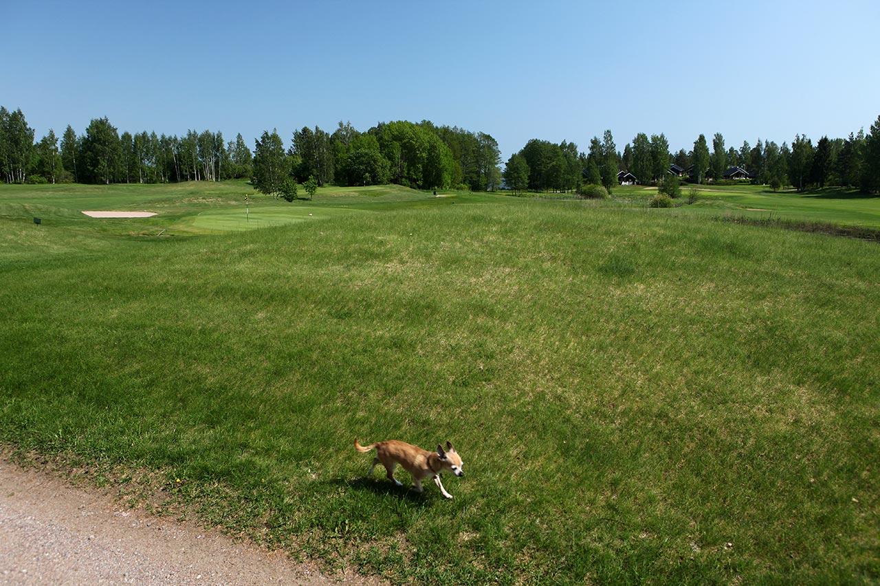 Собака-убийца, бегущая краем гольфового поля