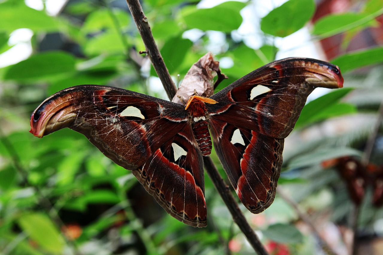 Канарская бабочка