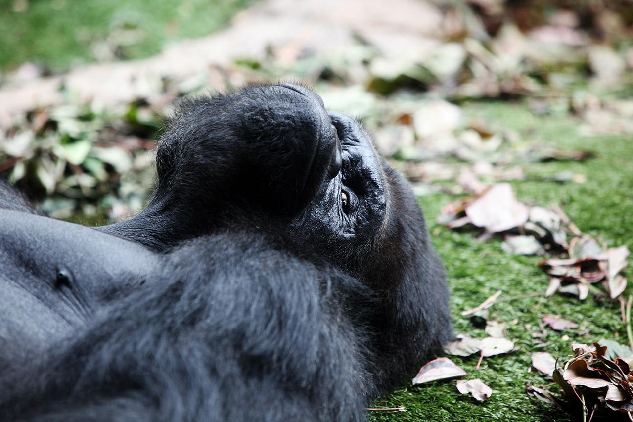 Канарская горилла