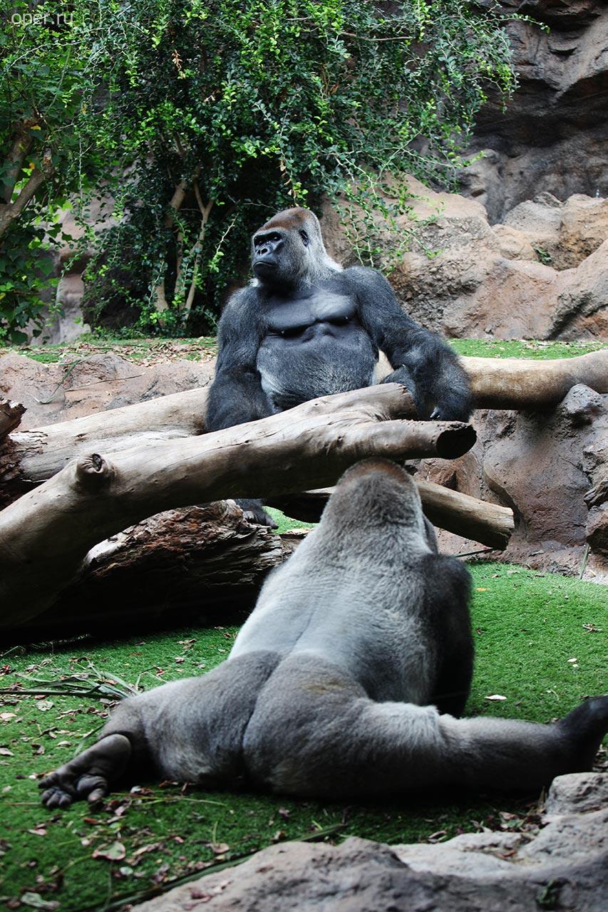 Канарские гориллы
