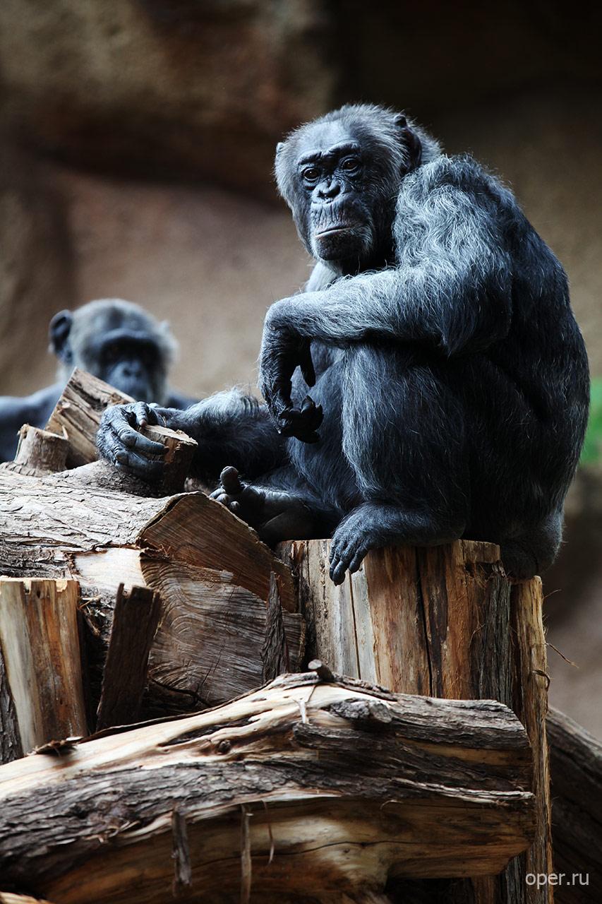 Канарские шимпанзе