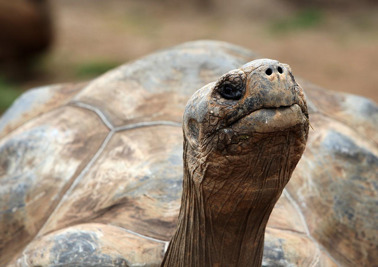 Канарская черепаха