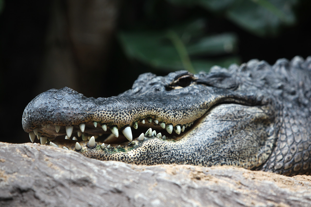 Канарский аллигатор