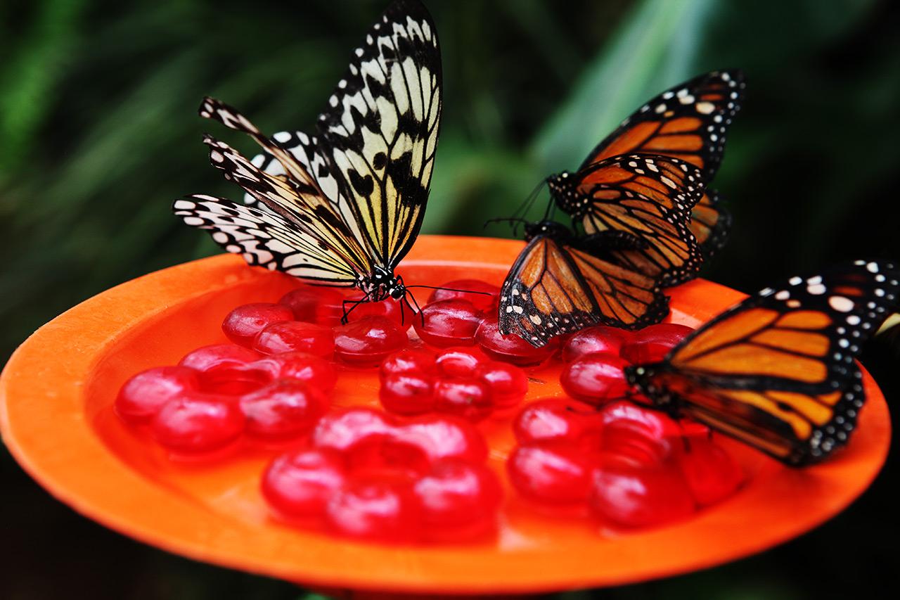 Кормёжка бабочек