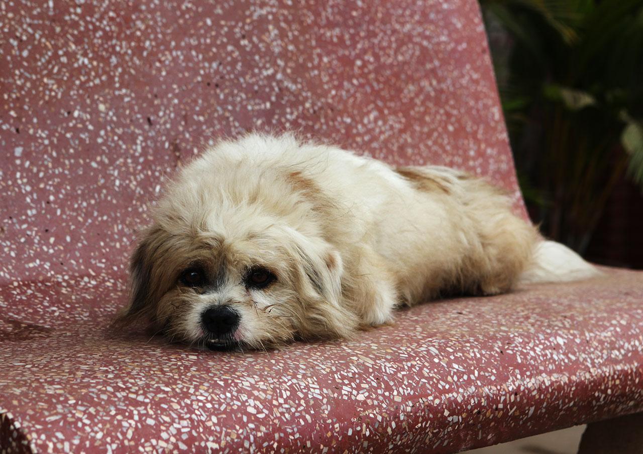 Злобный кхмерский пёс