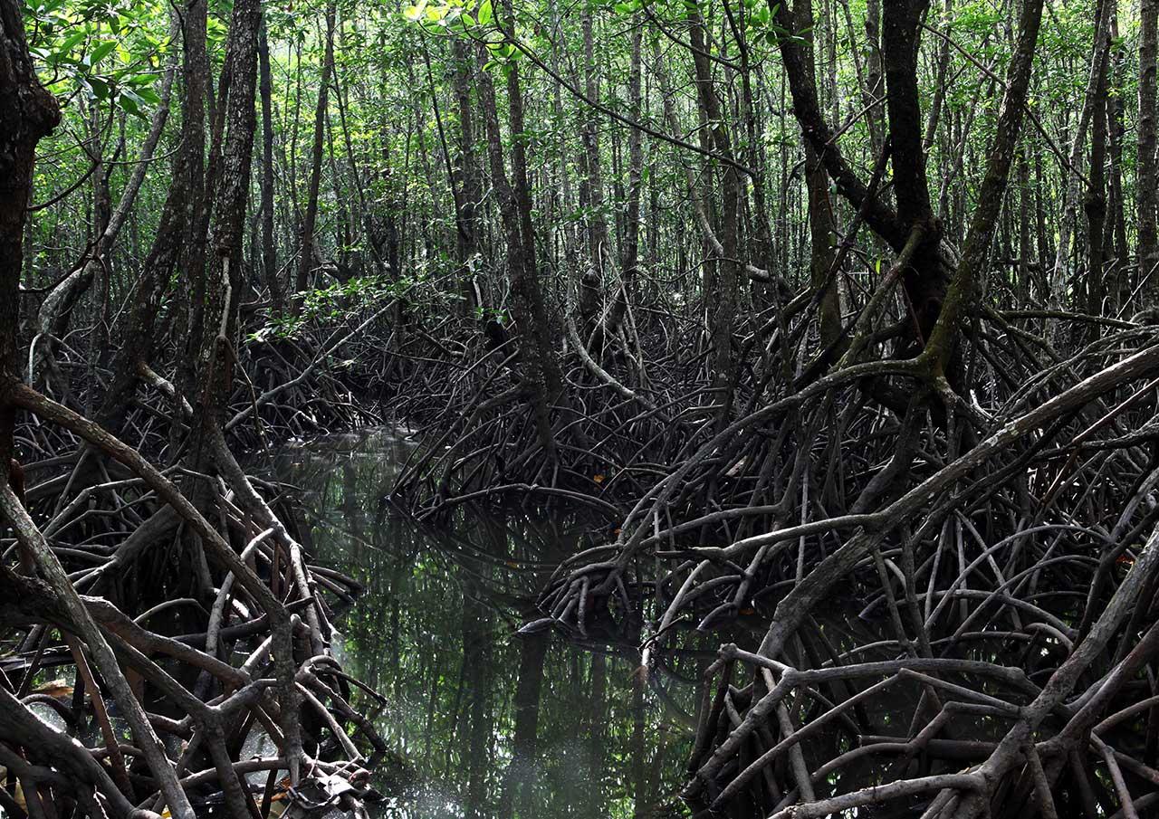 Тайские мангровы