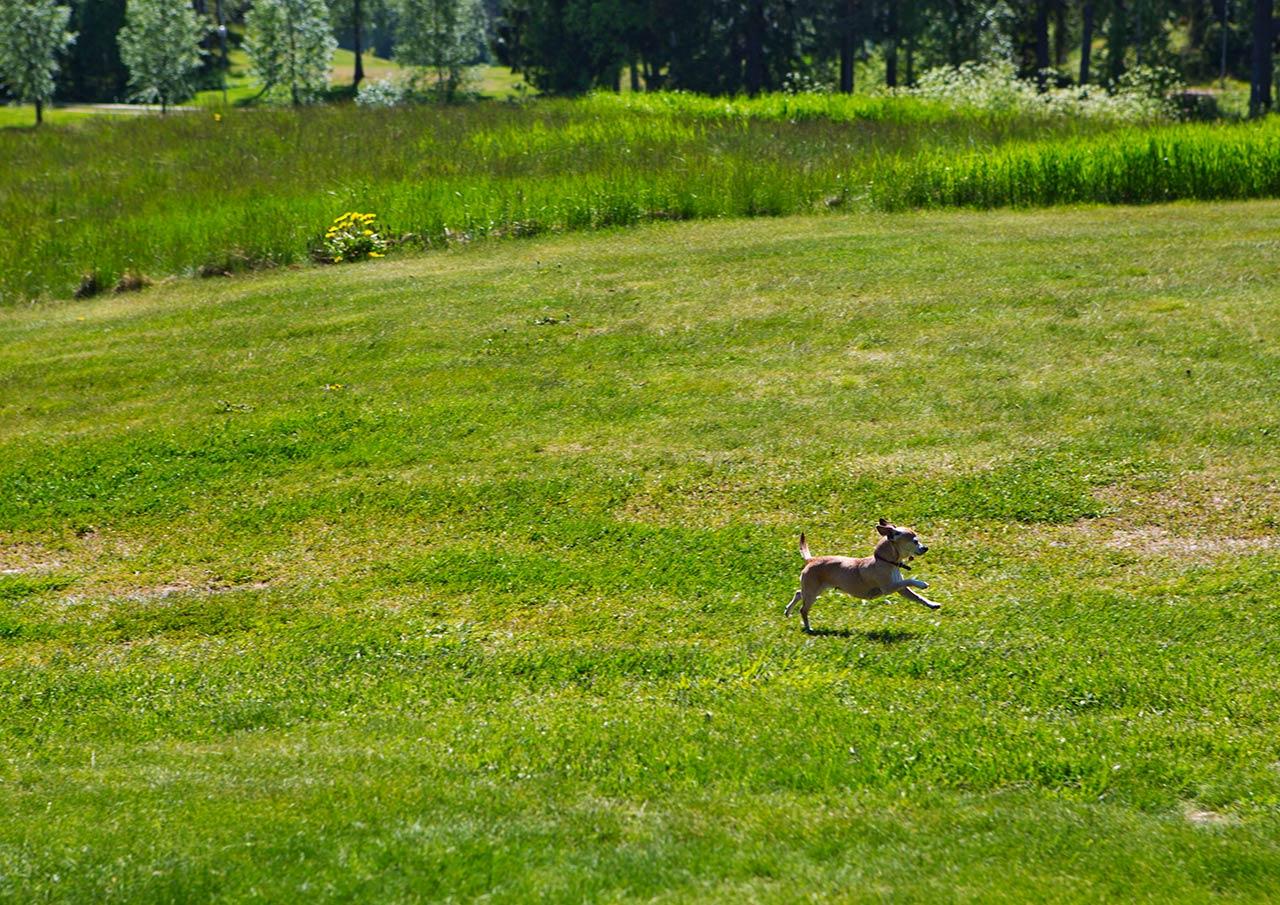 Собака-убийца на гольфовом поле