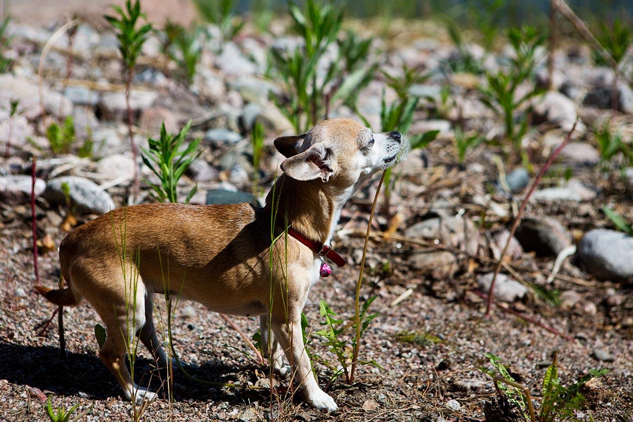 Собака-убийца жрёт финский одуванчик
