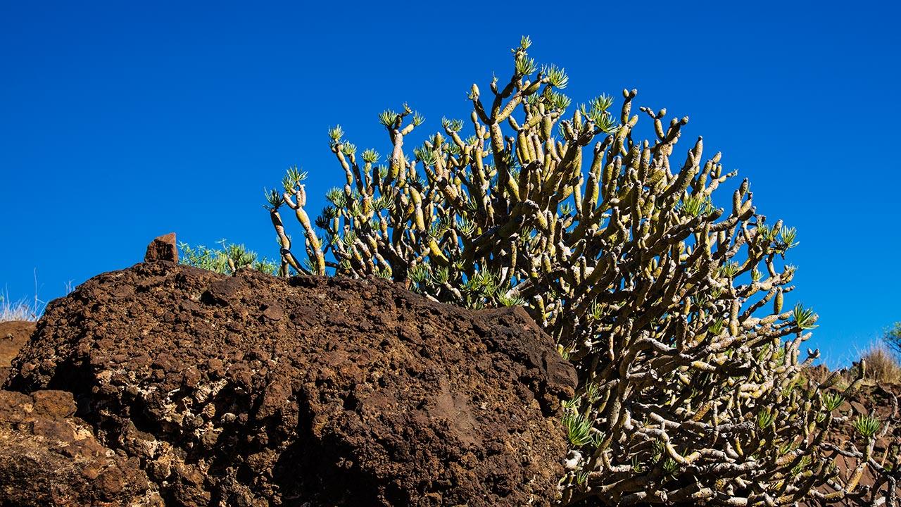 Канарский кактус