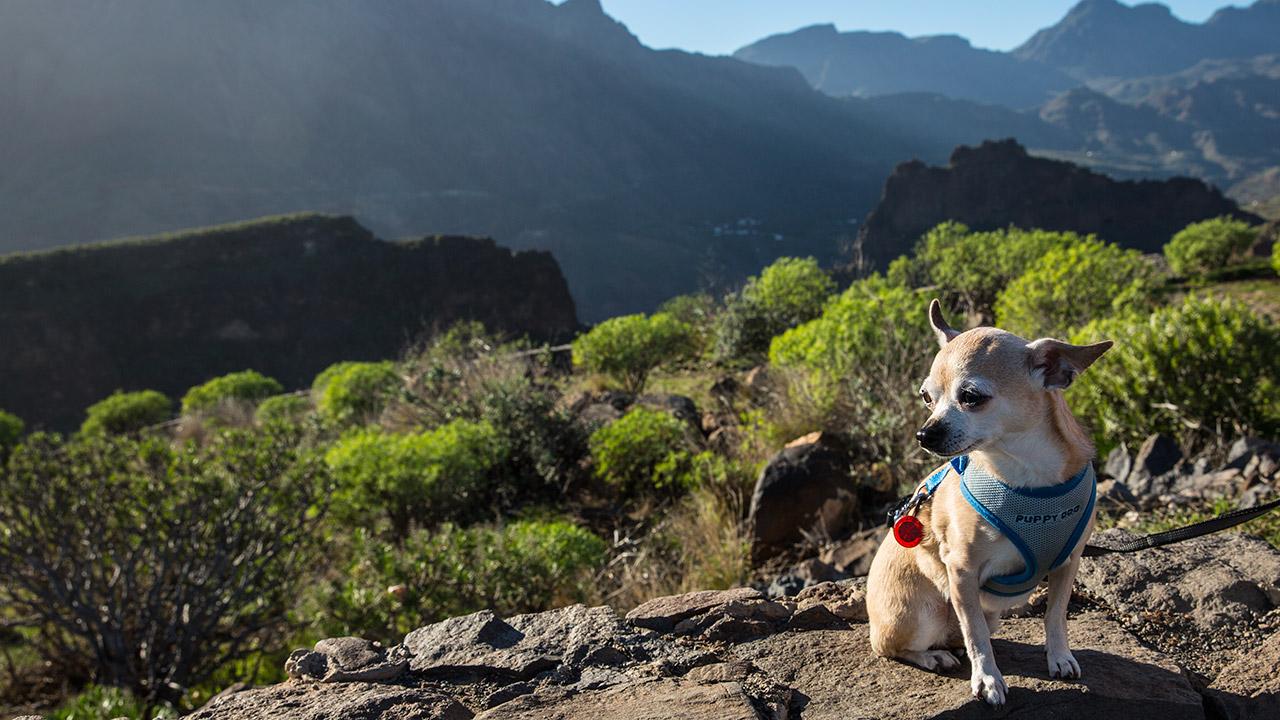 Собака-убийца в Канарских горах
