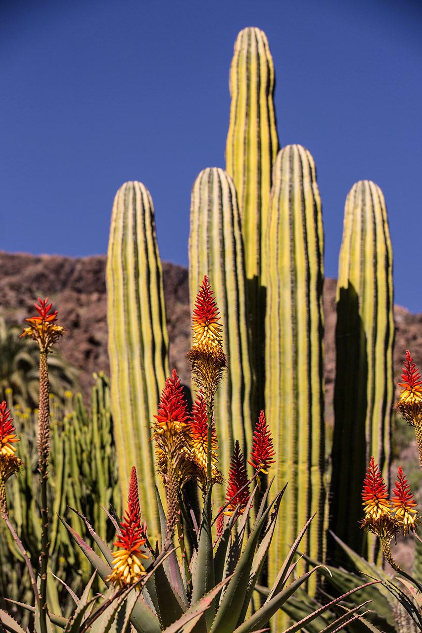Канарские кактусы