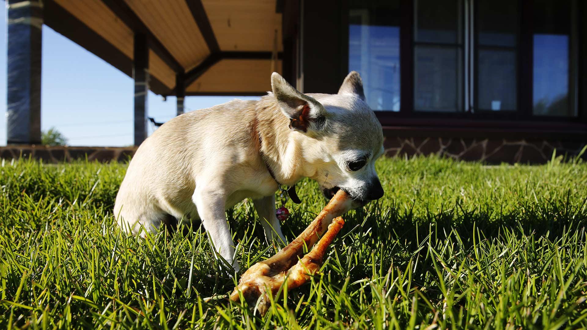 Собака-убийца работает с бараньей лапой