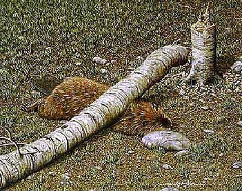 Нарушение техники безопасности: гибель бобра.