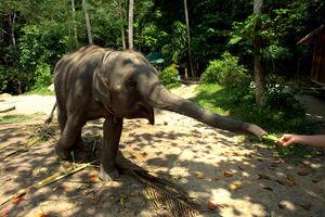 Тайский слонёнок