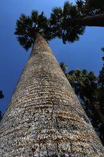 Афинская пальма