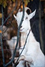 Про одного козла © onepamop
