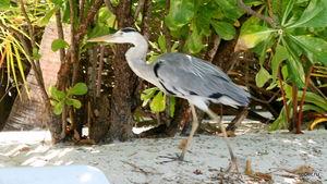 Мальдивская цапля