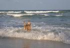 Таиландский буддистский пёс