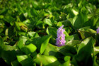 Тайский болотный цветочек