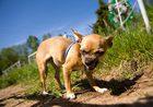 Собака-убийца сожрала какую-то гадость