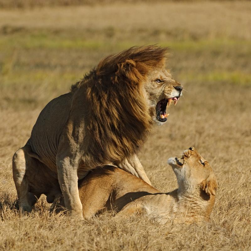 Трах с львом